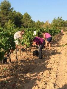 grape pickers syrah
