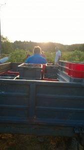 Hand harvesting Syrah grapes into small bins