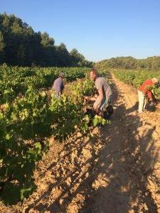 Syrah harvest