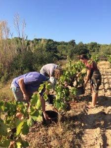 Carignan harvest