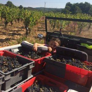 Carignan - why the low yields?