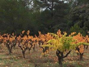 Rogue vine in Carigan vineyard