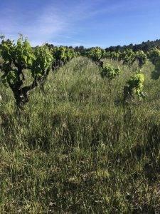 Carignan vineyard farmed organically