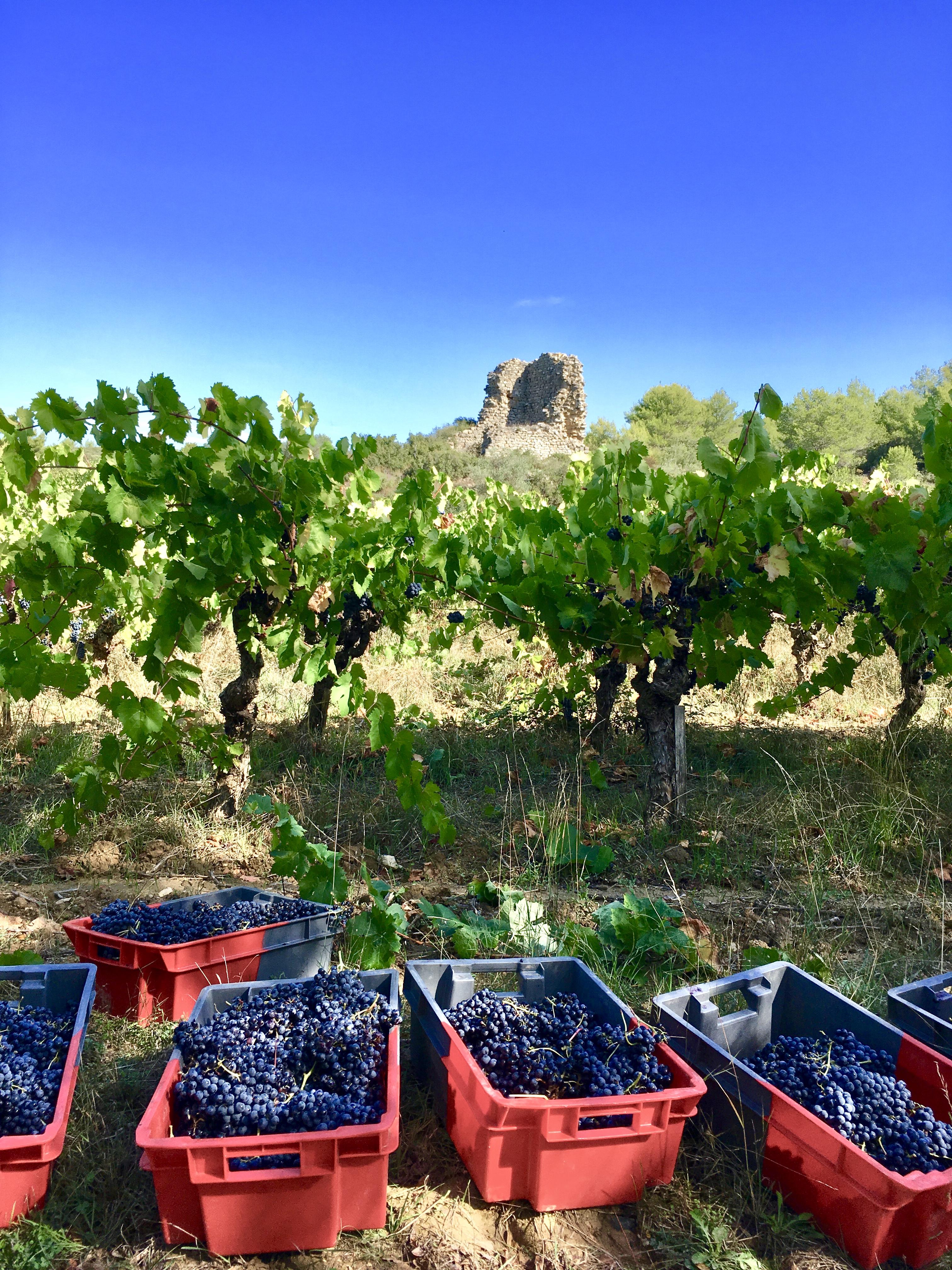 Carignan vine in Spring