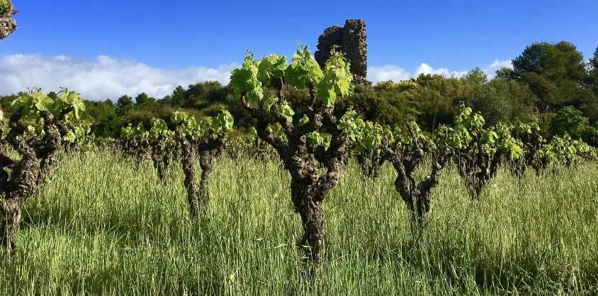 Lundi Live from the vineyard