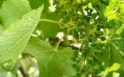 Little green grapes